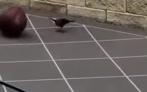 Bird Playing With A Ball