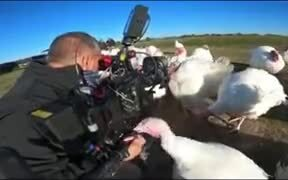 Turkeys Disturbing A Cameraman On Action