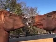 Two Horses Kissing Each Other