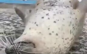 A Seal Creating An Upside-Down Flapping
