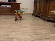 A Bicycle Riding Parrot