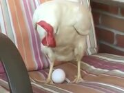 Chicken Laying Egg On A Chair