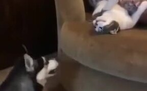 When Husky Wants To Play With The Cat