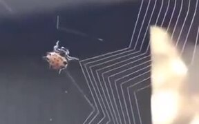 How Spiders Weave Their Nest