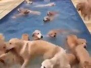 Golden Retriever Pool Party