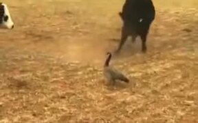 The Bravest Duck In The World