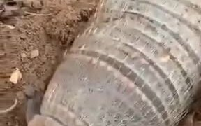 An Armadillo Looks Like A Baby Corpse