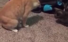 Cat Accidentally Steps On Its Own Tail