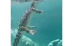How Crocodiles Swim In The Water