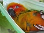Parrot Chills Out In A Face Mask Hammock!