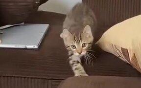 A Kitten With A Careful Catwalk