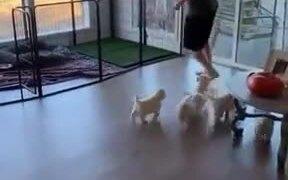Adorable Puppies Follow Around Guy Everywhere
