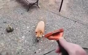 Wild Fox Loves Getting Groomed!