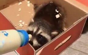 Raccoon Babies Are Feisty Little Creatures