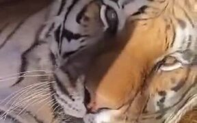 Tiger Hates Getting Up In The Morning