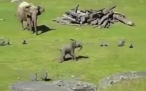 Baby Elephant Runs After Turkeys Like Little Kids
