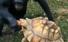 Adorable Chimpanzee Shares Food With Tortoise