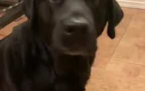 Cutie Labrador Is Always Up For Food