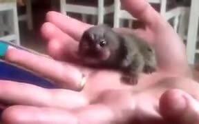 Absolutely Tiny Pygmy Marmoset