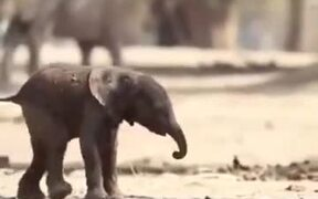 Baby Elephant Takes It's First Steps