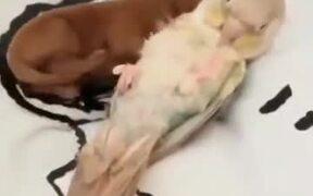 Newborn Puppy Cuddles With Parrot!
