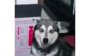 When A Husky Coughs Weird