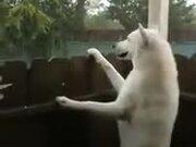 A Rain Loving White Dog