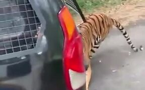 Tiger Pulling A Vehicle With Tourists