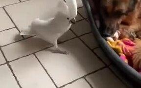 Cockatoo Barking On The Dog