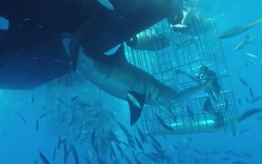 Great White Shark Swims Into Cage