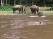 Baby Elephant Trying To Save Drowning Human