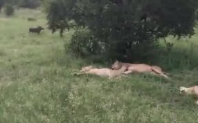 Funny Wild Boar Scared 4 Lions!