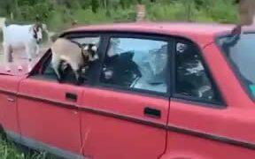 Mountain Goats Practicing Balance On A Car