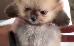 Cutest Angry Pomeranian On The Internet