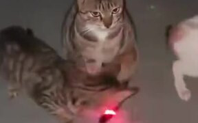 Cat Not Intimidated By Laser Pointer