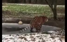 Tiger Literally Walking On Thin Ice