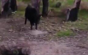 Tiny Dog Shows Big Bull Who's Boss!