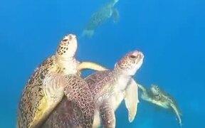 Sea Turtle Swimming Together