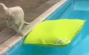 Cute Dog Jumps On A Floating Pillow In The Pool!