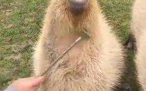 Capybara Is A Hapybara After Getting Scratches