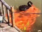 Black Swan Feeds A Horde Of Golden Koi Fish