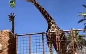 Kid Gets A Nice Lift From A Giraffe