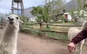 Llamas Don't Like Getting Petted