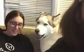 Husky Tells That He Doesn't Want To Lie Down