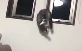Cat Gets Stuck On Curtain Drawstring