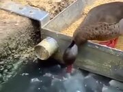 Duck Feeds The Fishes In The Pond