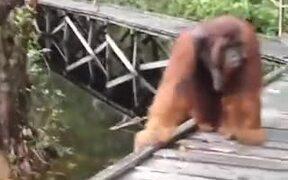 Monkey Steals Banana From Orangutan's Mouth
