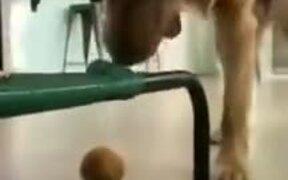 Dumb Pupper Tries To Retrieve Ball, Fails