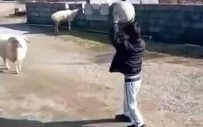 This Ram Is Literally The GOAT Of Football