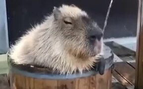Capybara Takes The Most Relaxing Bath Ever